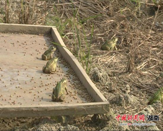一片片稻田呈现出稻绿、蛙鸣、鱼欢的原生态景象。
