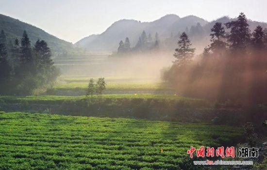 资料图,安化县生态茶园。