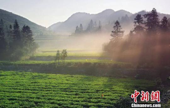 资料图,安化县生态茶园。安化宣传提供