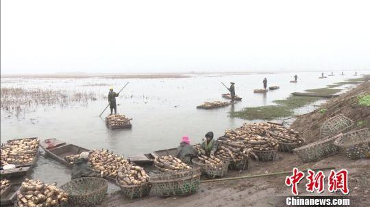 挖藕工人们带着一船莲藕在菱角湖踏歌而行。 段建 摄