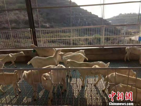 澳大利亚纯种萨能奶山羊每只年产奶量800至1200千克。城步县宣传部供