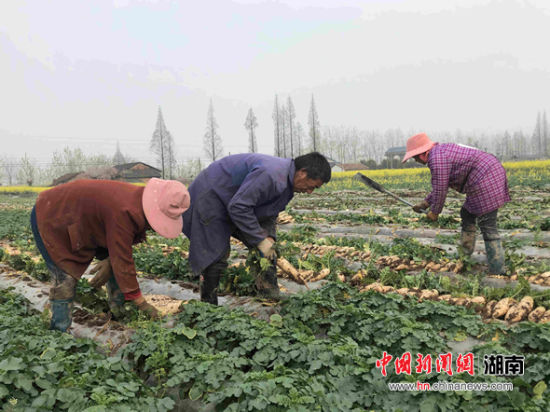村民们在田间地头忙着拔萝卜、割叶子、挑捡、装袋。
