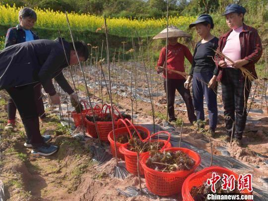 红香椿合作社基地,村民实现家门口就业创收。