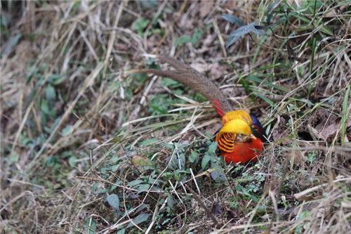 图为:维护区内的国度二级维护植物红腹锦鸡