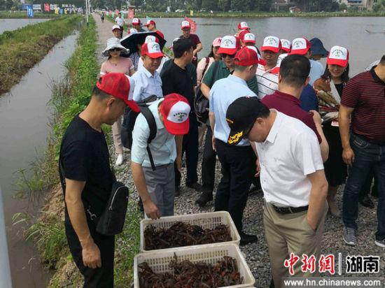 """35位来自香港、深圳的客商参观考察""""稻虾共生""""良田。"""