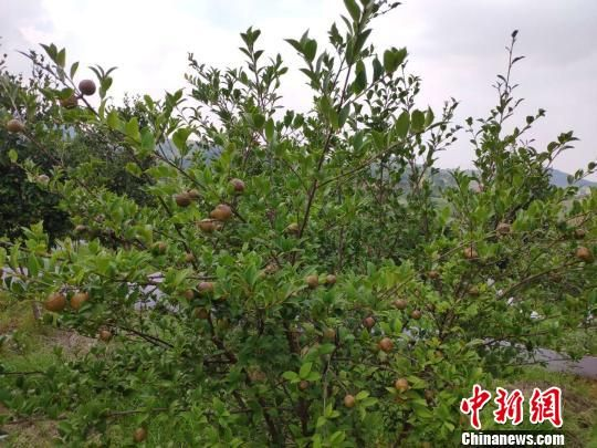 邵阳市新邵县的油茶林。 王昊昊 摄