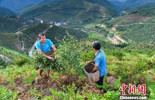 油茶喜丰收。耒阳市宣供图
