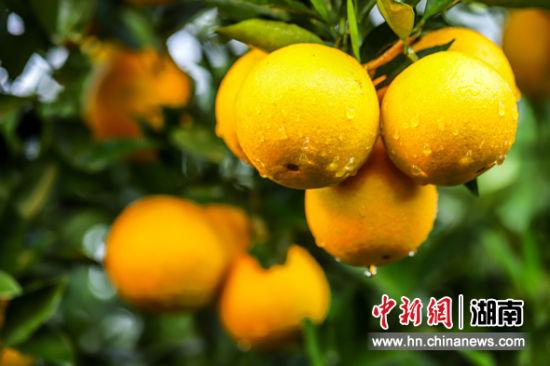 诱人的永兴冰糖橙。