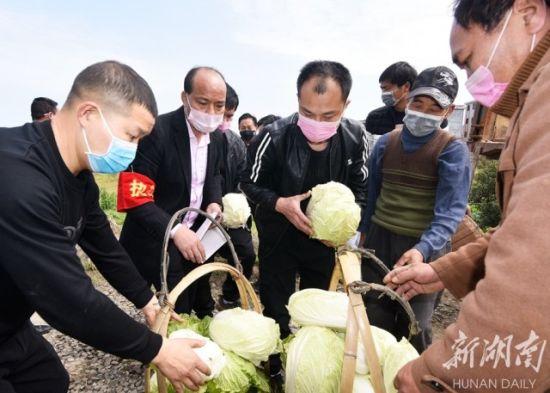 2月18日,嘉禾县坦坪镇栗木凤村五百地自然村,村民们自发采收12吨包菜、西洋菜等蔬菜捐赠到医院、公安派出所等一线抗疫单位。黄春涛 摄