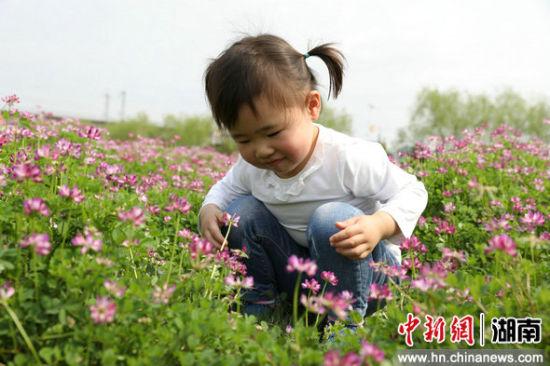 """【中新网】衡阳成片紫云英花海吸引民众""""打卡"""""""
