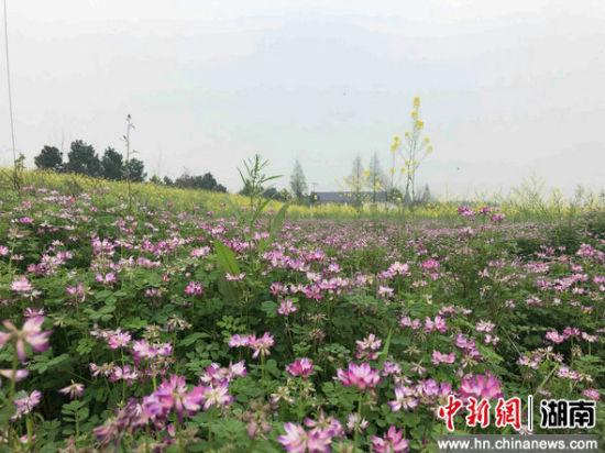 长势喜人的紫云英,是一种冬种绿肥。