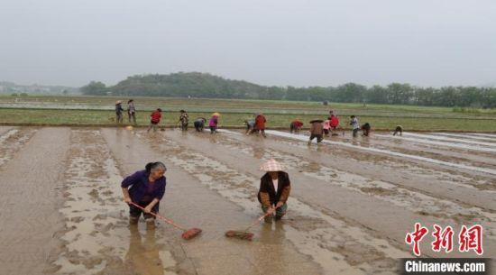 农户在田间忙碌。祁阳县供图