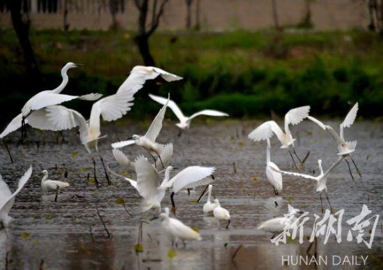 4月1日,一大群白鹭在江永县田间里展翅翱翔,一时觅食、一时嬉戏追逐,构成了一幅幅充满乡间野趣的田园生态图。 黄海 摄