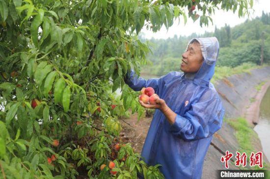 黄志明在摘桃子。 陈毅 摄