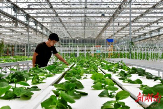 (5月16日,蓝山县塔峰镇六七甲村舜水田园综合体玻璃大棚,技术人员在查看蔬菜长势。 杨雄春 摄)