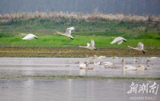 (南洞庭湖湿地公园明朗山附近,一大群天鹅在嬉戏飞舞。熊朝阳 摄)