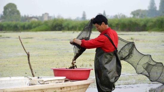 南县虾农正在起小龙虾。