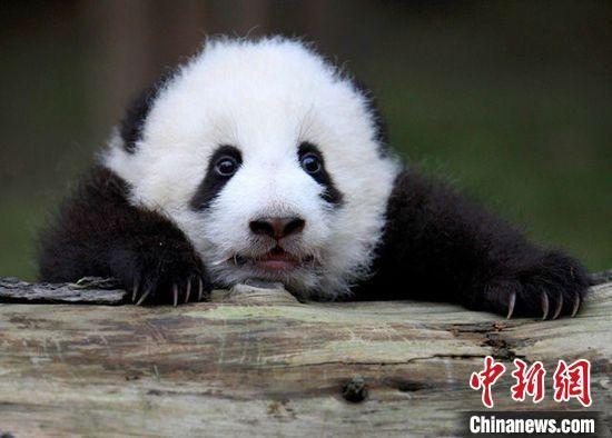 憨态可掬的大熊猫。 吴东林 摄