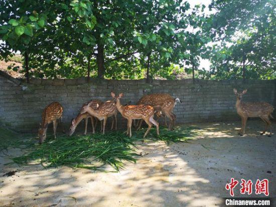 拱塘村的梅花鹿养殖基地。 刘曼 摄