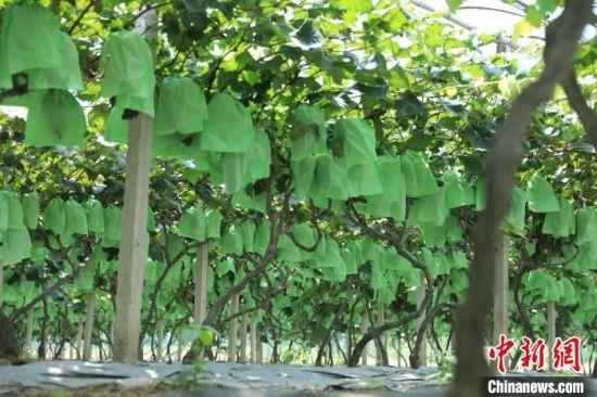 东安的葡萄产业。 付勇 摄