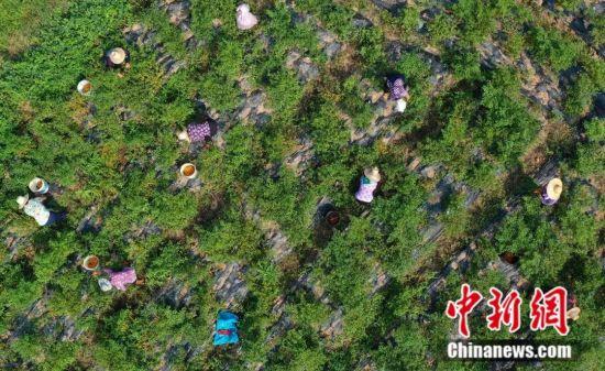 湖南省衡东县三樟镇村民种植的黄贡椒喜获丰收。曹正平 摄