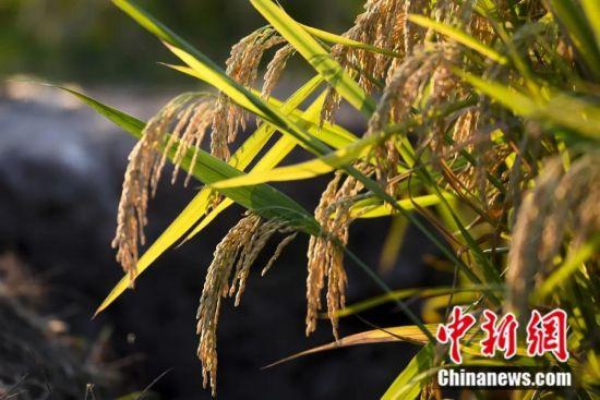 杂交水稻。杨华峰 摄