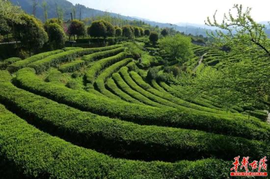古丈县城茶文化公园。湘西州委宣传部供图