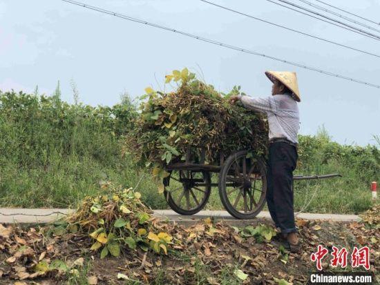 李德太夫妻俩在田埂的零碎土地种植四亩多的黄豆。 宋梅 摄