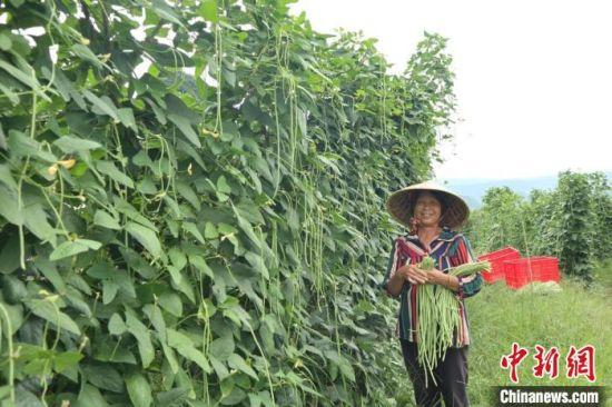 农民正在采摘豆角。 扶贫队供图
