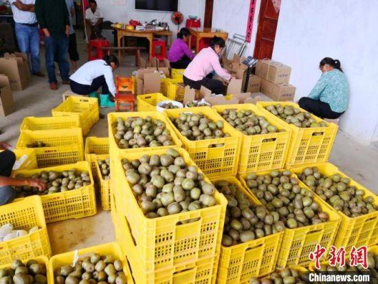 果农正在包装猕猴桃。 扶贫队供图