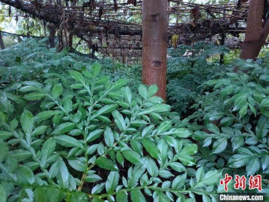 魔芋种植基地。 钟果林 摄