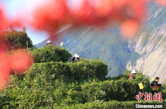 南岳石山茶场茶农在采茶。 曹正平 摄