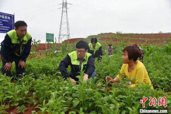 湖南绿佰珍生物科技发展有限公司在祁东县白地市村设中药材种植基地,并指导贫困户种植白术等中药材。民建湖南省委会供图