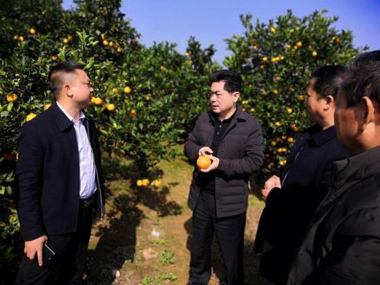 州人大常委会副主任、县委书记杜晓勇(中)深入桔园调研产业发展。