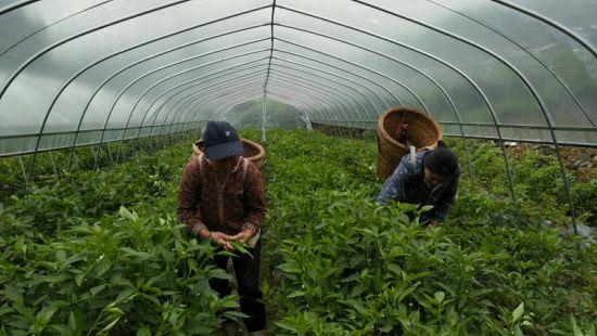 小章村辣椒种植基地。