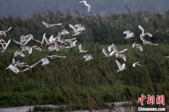 洞庭湖湿地迎来越来越多越冬候鸟。 李剑志 摄