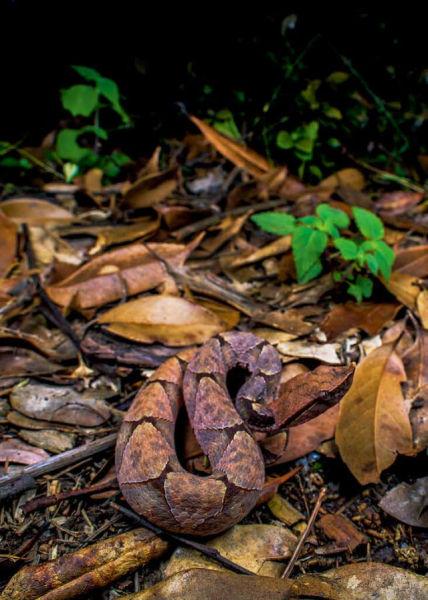 """(林下地面,一条将身体弯成""""S""""形的尖吻蝮静静蹲坐在落叶堆中。黑体色的成年尖吻蝮很可能就是""""黑质而白章""""的永州""""异蛇""""。付若金 摄)"""