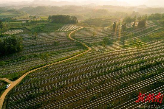 2020年5月2日,位于花垣县花垣镇紫霞湖边的十八洞村千亩弥猴桃基地生机盎然。陈敏捷 摄
