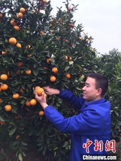 舒兴华正在打理冰糖橙。受访者供图