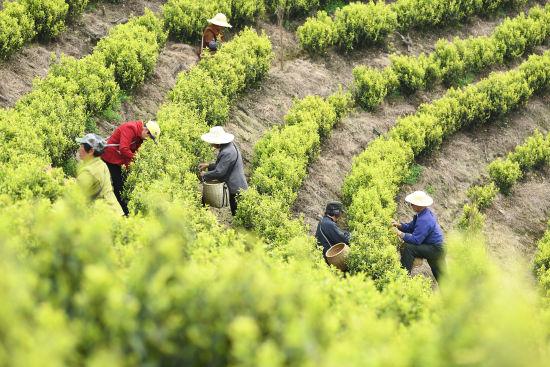 村民在茶园采茶。