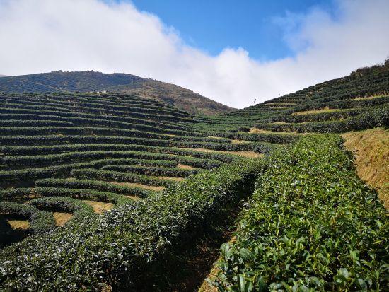 炎陵县平均海拔1650米的龟龙窝高山茶园。(资料图) 作者 刘曼