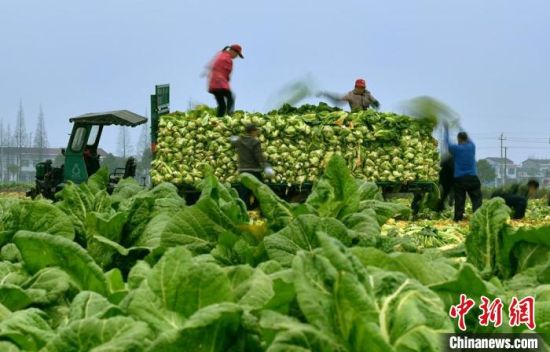 小芥菜做成了大产业(资料图)。华容县委宣传部供图
