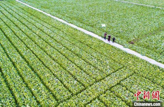 三封寺镇已发展芥菜种植面积1.5万亩(资料图)。华容县委宣传部供图