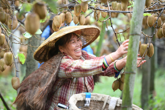 凤凰县菖蒲塘村水果产业扶贫。杨华峰 摄