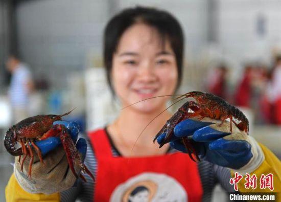 """南县稻虾共生综合种养模式成富民的""""金山银山""""。 余杰 摄"""