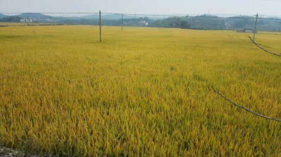 """邵阳县""""六个一""""机制促粮食生产大丰收"""