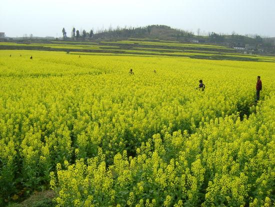 邵阳县油菜亩产打破138.5公斤