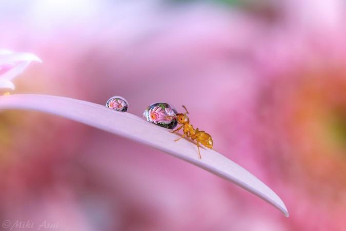 镜头下的露珠与蚂蚁