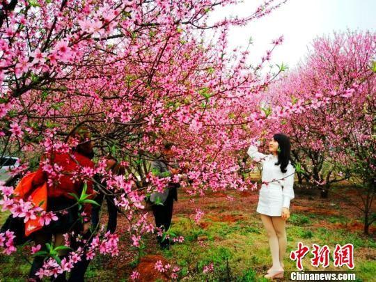 """湖南衡阳千亩""""带雨梨花""""迎春绽放"""