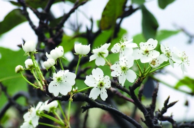 """一片果园里梨树竞相开花,在秋天里出现了""""春色满园""""的独特景观图片"""